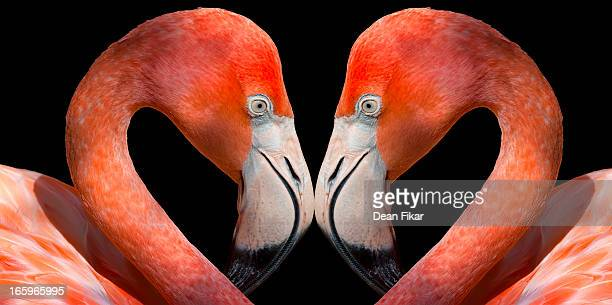 kissing flamingos - flamingo heart stock pictures, royalty-free photos & images