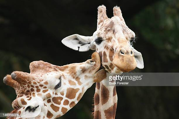 kissing giraffes - giraffe stock pictures, royalty-free photos & images