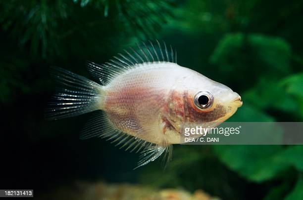 11 Kissing Gourami Photos And Premium High Res Pictures Getty Images