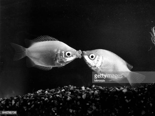 Kissing Gourmis December 1984. These two fish lives at Finnetts pet shop at Tottenham North London.