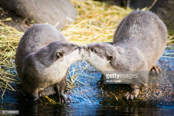 kissing otters - beaver stock photos and pictures