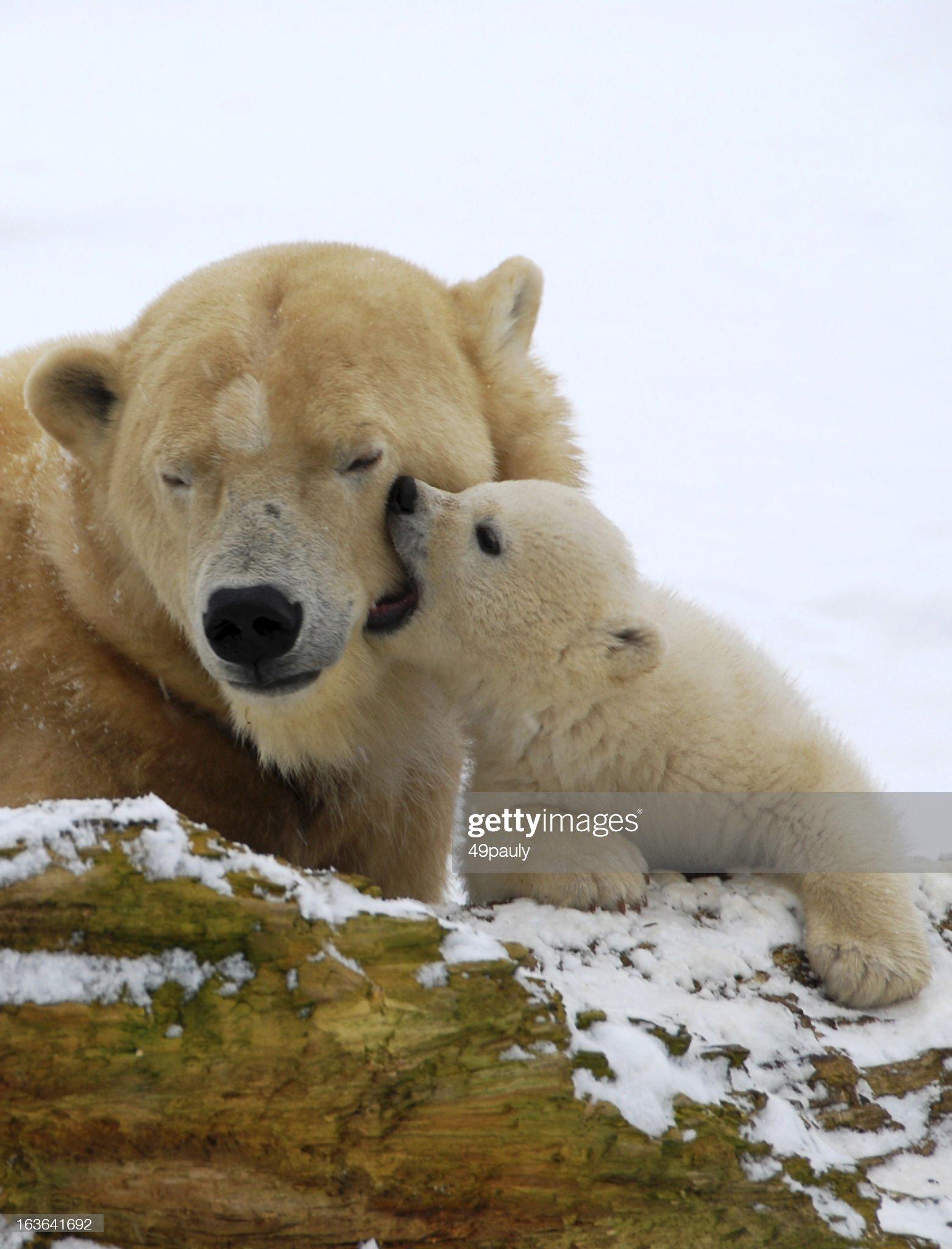 Baciare polar orsetto. : Foto stock