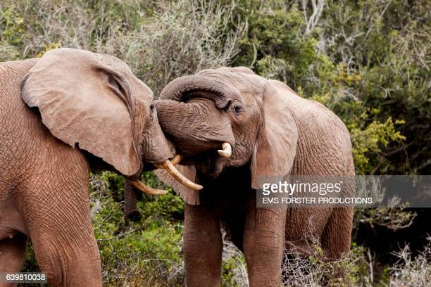 kissing & touching moments of  african elephants - two young elephants - both with tusks - ems forster productions stock pictures, royalty-free photos & images