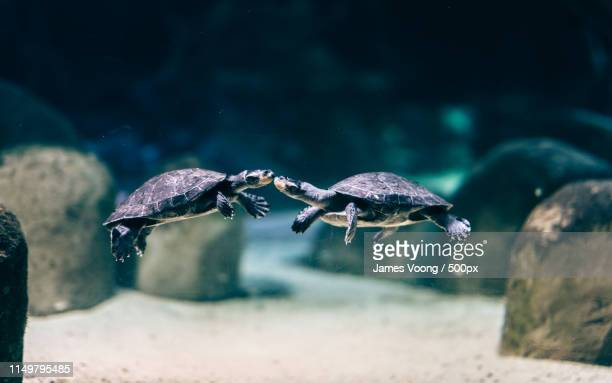 kissing turtles - chester zoo stock pictures, royalty-free photos & images