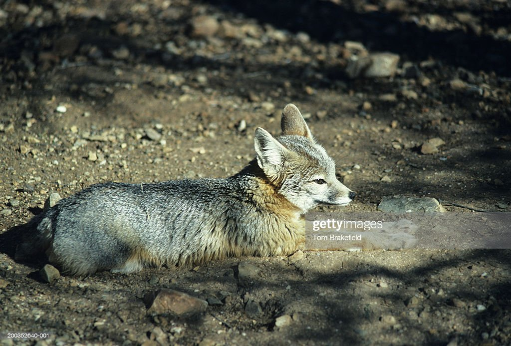 Kit Fox Lying On Ground North America Stock Photo - Getty Images