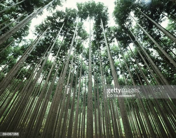 Kitayama Sugi, Japanese cedar tree