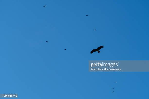 Kite and seagulls flying in the blue sky in Japan