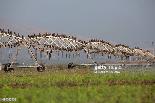 Kite birds stand on an irrigation sprinkler at a field in the Israeli Kibbutz Maoz Haim located in the Jordan Valley near the border with Jordan...