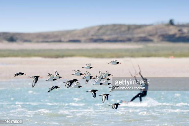 kite surfers crossing magpies flying, in normandy, france - cotentin photos et images de collection