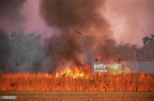 kites catching insects escaping bushfire - australia fire stock pictures, royalty-free photos & images