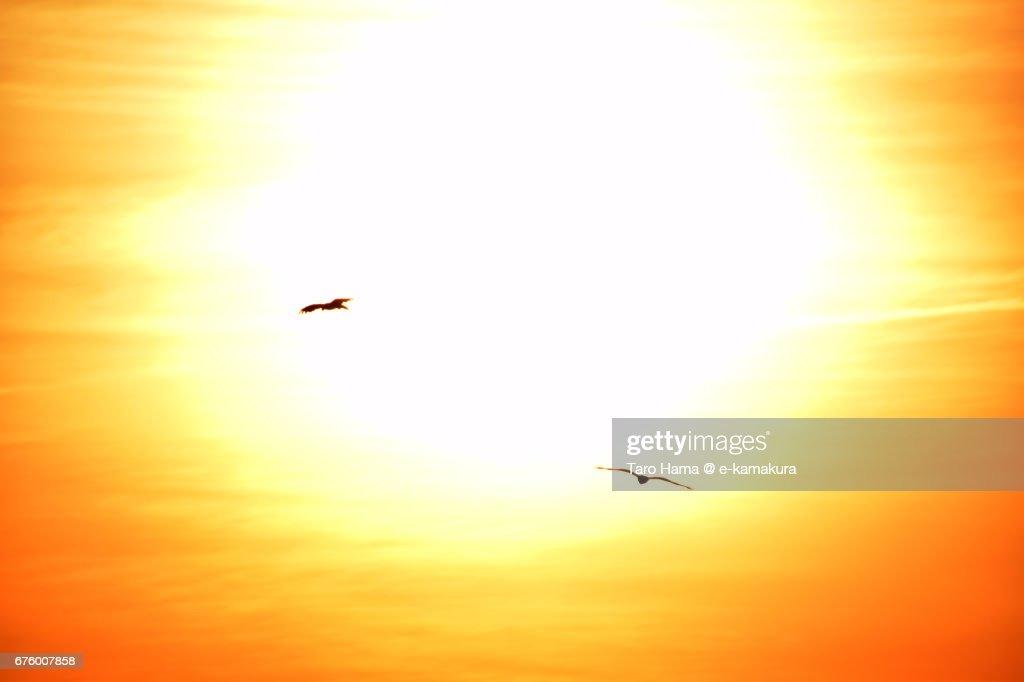 Kites flying around evening sun : ストックフォト