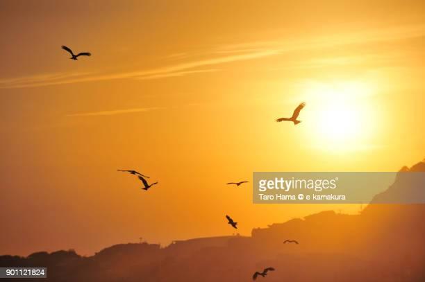 Kites flying in the sunset sky in Kamakura city in Kanagawa prefecture in Japan
