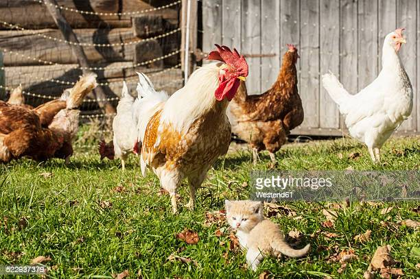 kitten and chickens on a farm - medium group of animals stock pictures, royalty-free photos & images