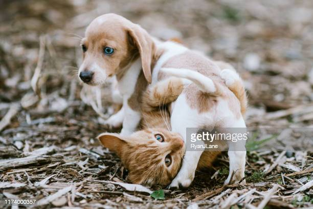 a kitten and dachshund puppy wrestle outside - dog and cat stock pictures, royalty-free photos & images