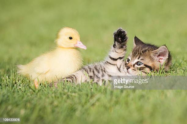 Kitten and duckling on grass