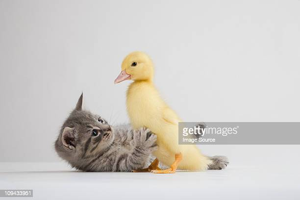 kitten and duckling, studio shot - duck bird stock pictures, royalty-free photos & images