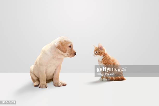kitten and labrador puppy - cat and dog stock pictures, royalty-free photos & images