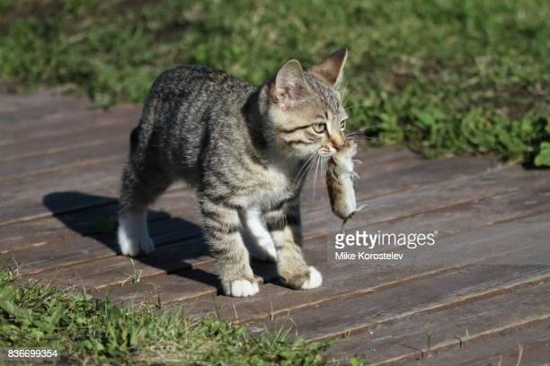 kitten and mouse - animales cazando fotografías e imágenes de stock