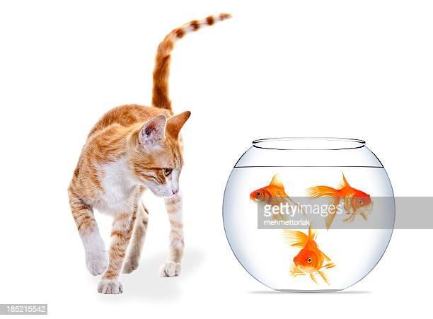Kitten and three Goldfish