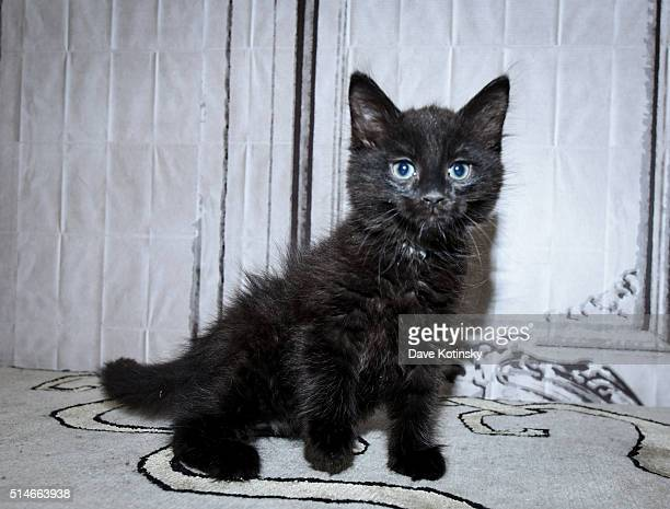 A kitten at the Animal Storm Squad attends the AOL Build Speakers Series at AOL Studios In New York on March 10 2016 in New York City