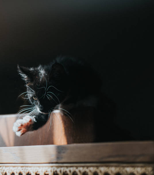 A kitten carefully considers his next move as he reaches out his little paw and asses the jump he is about to attempt
