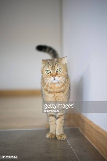 kitten cat american short hair laydown on the floor - purebred cat stock pictures, royalty-free photos & images