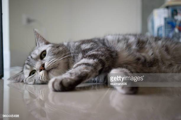 kitten cat American short hair laydown on the floor