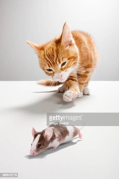 kitten chasing mouse - persecución conceptos fotografías e imágenes de stock