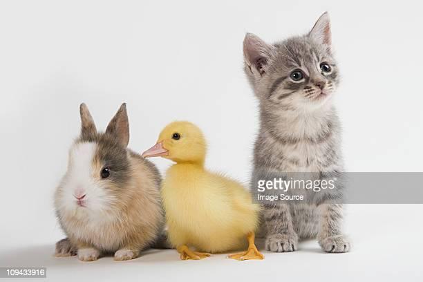 Kitten, duckling, and rabbit, studio shot