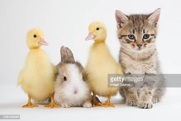 Kitten, ducklings, and rabbit, studio shot
