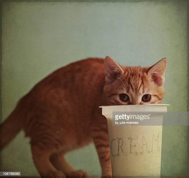 kitten eating from big pot of  cream