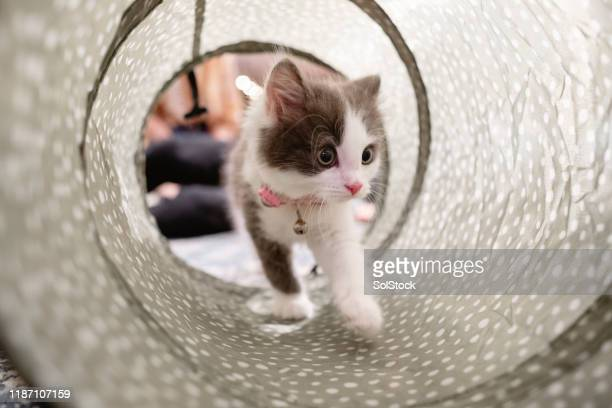kitten exploring her surroundings - kitten stock pictures, royalty-free photos & images