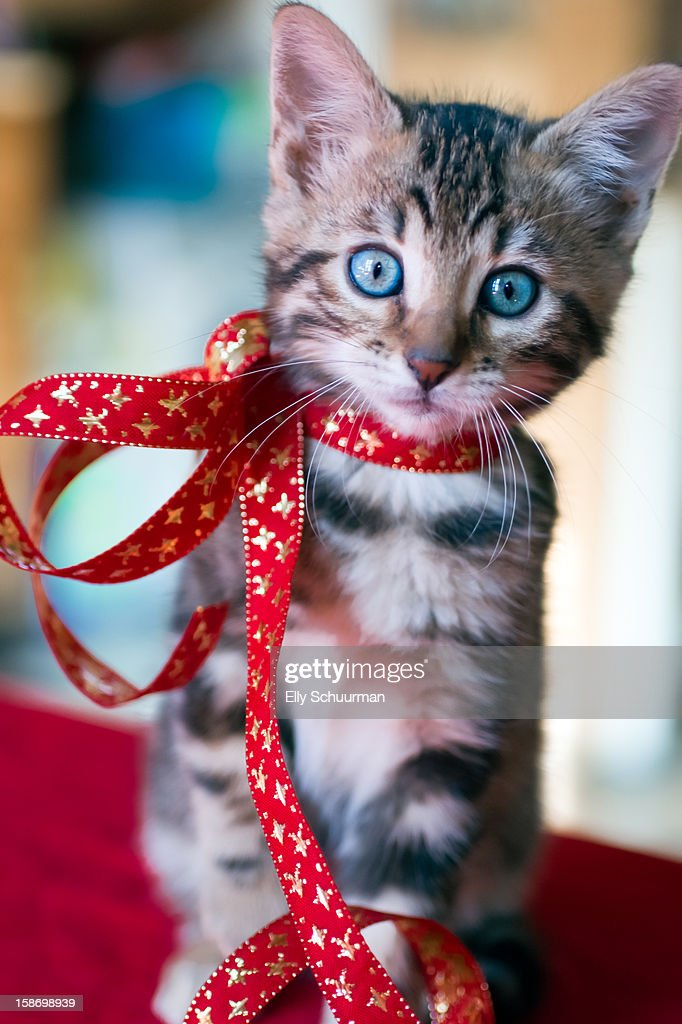 Kitten For Christmas Stock Photo | Getty Images