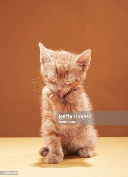 kitten grooming - feet lick stock pictures, royalty-free photos & images