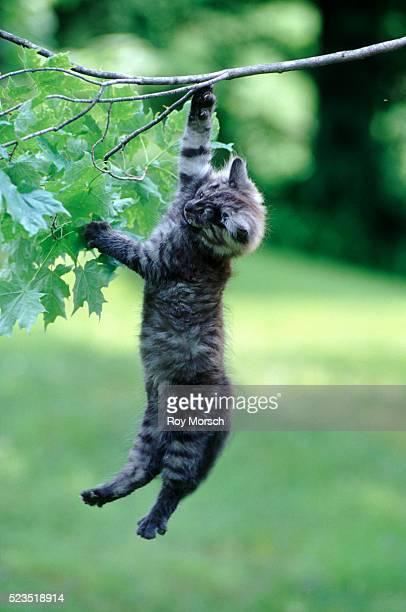 kitten hanging from a branch - linda rama fotografías e imágenes de stock