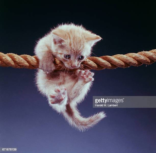 kitten hanging on rope  - pawed mammal stock pictures, royalty-free photos & images