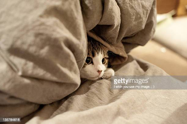 kitten hides under bed sheets - cat hiding under bed stock pictures, royalty-free photos & images