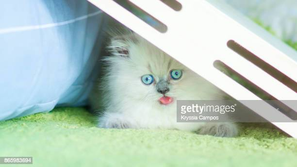kitten hiding and playing in bed under wooden box - cat hiding under bed stock pictures, royalty-free photos & images