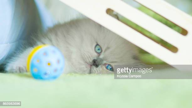 kitten hiding and resting under wooden box - cat hiding under bed stock pictures, royalty-free photos & images