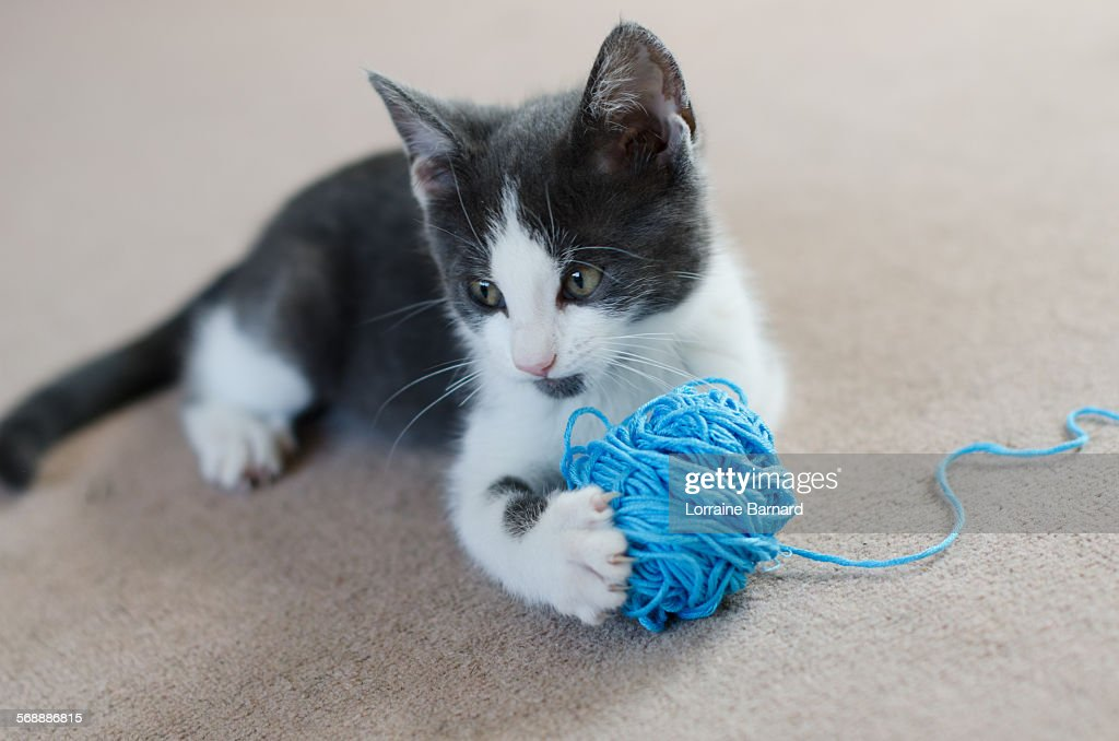 Kitten holding ball of wool (felis catus) : Foto de stock