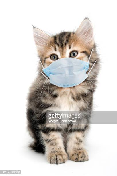 kitten in a surgical mask isolated on white background - cat face mask stock pictures, royalty-free photos & images