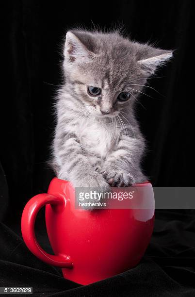Grey kitten sits in a teacup with paws on the lip of the mug.