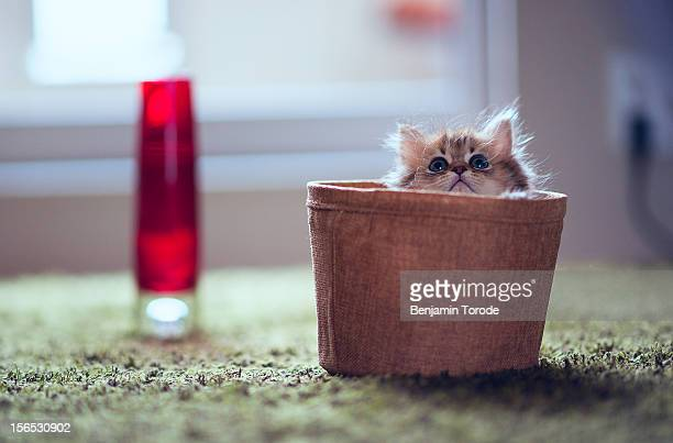 Kitten in basket