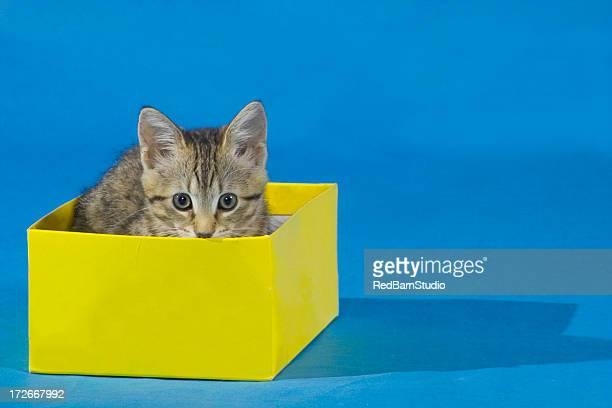 Kätzchen in Karton