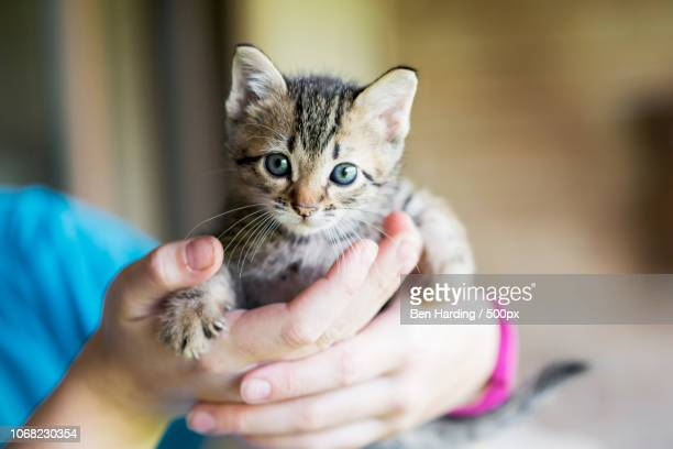 kitten in humans hands - kitten stock pictures, royalty-free photos & images