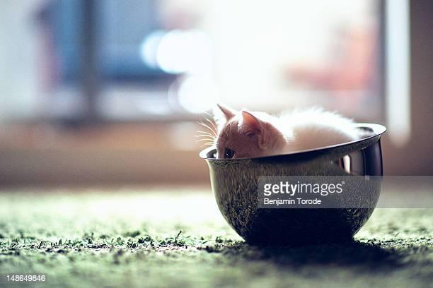 Kitten in steel bowl on green carpet