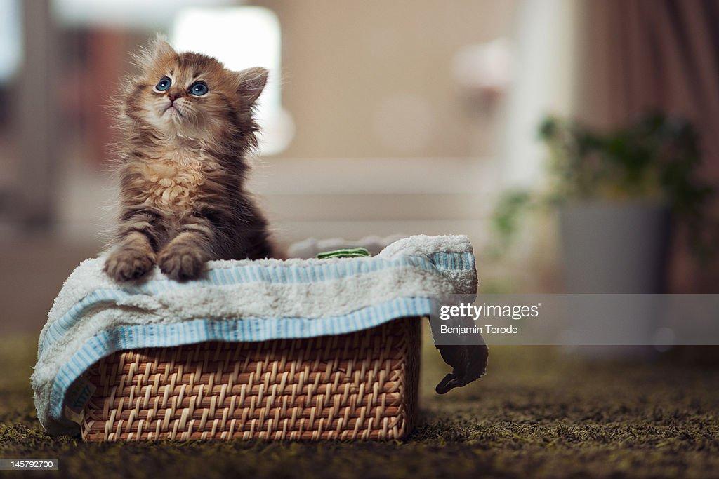 Kitten in towel lined basket : Stock Photo