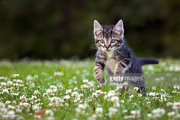 Kitten jumping through flowers