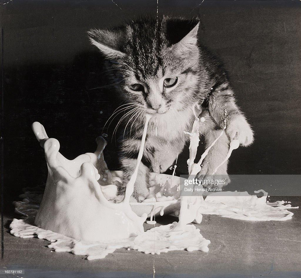 Kitten landing in a saucer of milk, 1953.