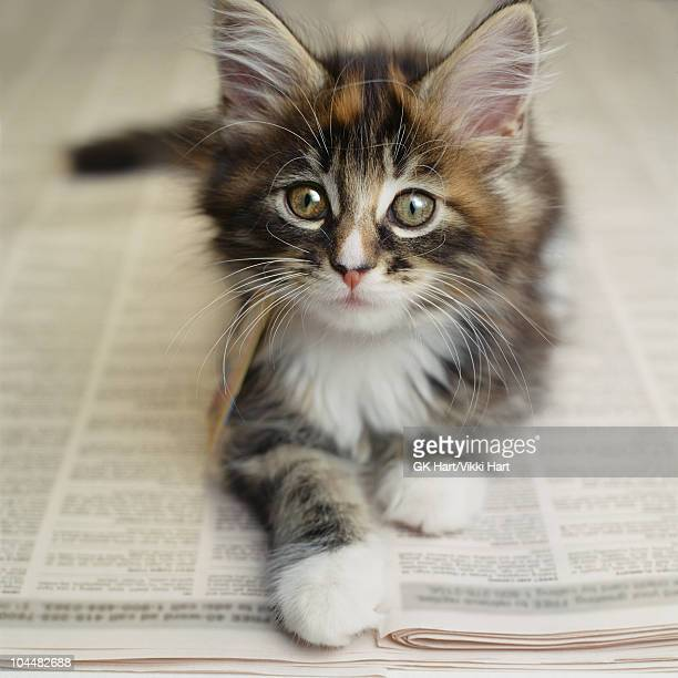 kitten laying on newspaper - maine coon cat stock pictures, royalty-free photos & images